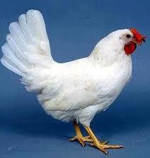 Rüyada Tavuk Görmek